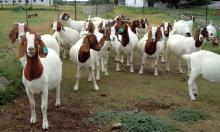 live diary Boer Goats (Breed Boer Goats,Holstein Heifers,Cows,S)