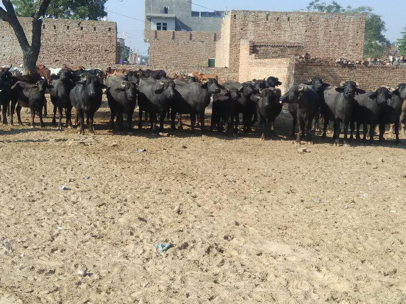 Murrah Buffalo Manufacturer in Sirsa Haryana India by Shree Jeevan