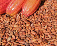 cocoa bean seed
