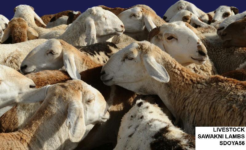 Live Sawakni Lambs (SDOYA56)