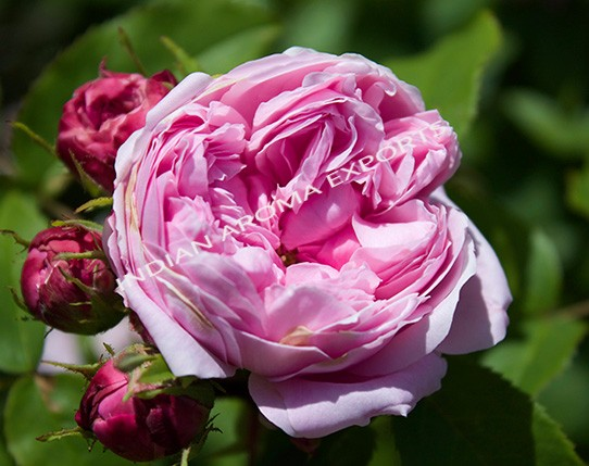 Pink Rose Absolute Oil