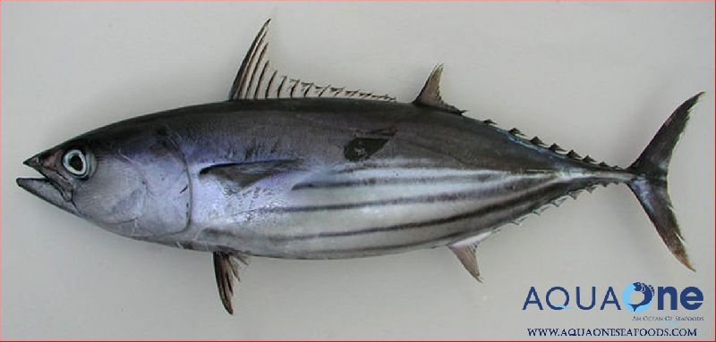 Skipjack tuna fish manufacturer in tamil nadu india by for Does tuna fish have scales