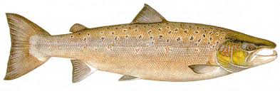 Fresh and frozen Atlantic Salmon