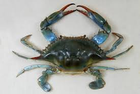 Live and frozen Blue Crab