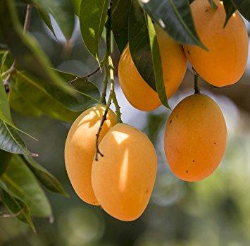 Ratnagiri Alphonso Mango (KGC-RAM-665)