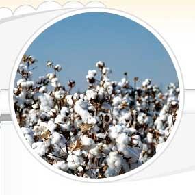 Raw Cotton (01)