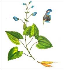 Aconitum Heterophyllum (Aconitum Heterophyll)