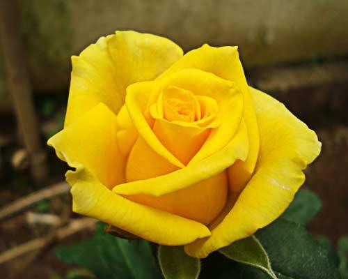 Gold Strike Yellow Rose (Gold Strike Yellow R)