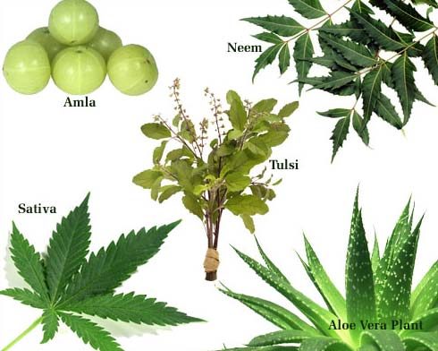 Medicinal Herbal Plant Manufacturer Exporters From Udaipur India Id 2250126