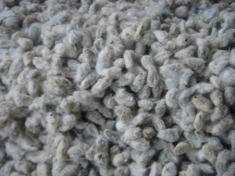 Indian Cotton Seed (BAOS 003)