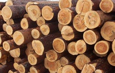 Radiata Pine Wood Logs