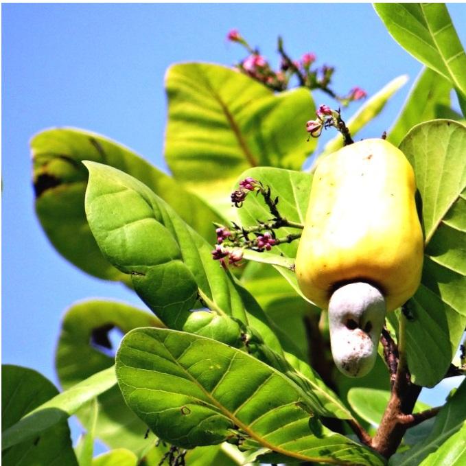 Raw Cashew Nut in Shell
