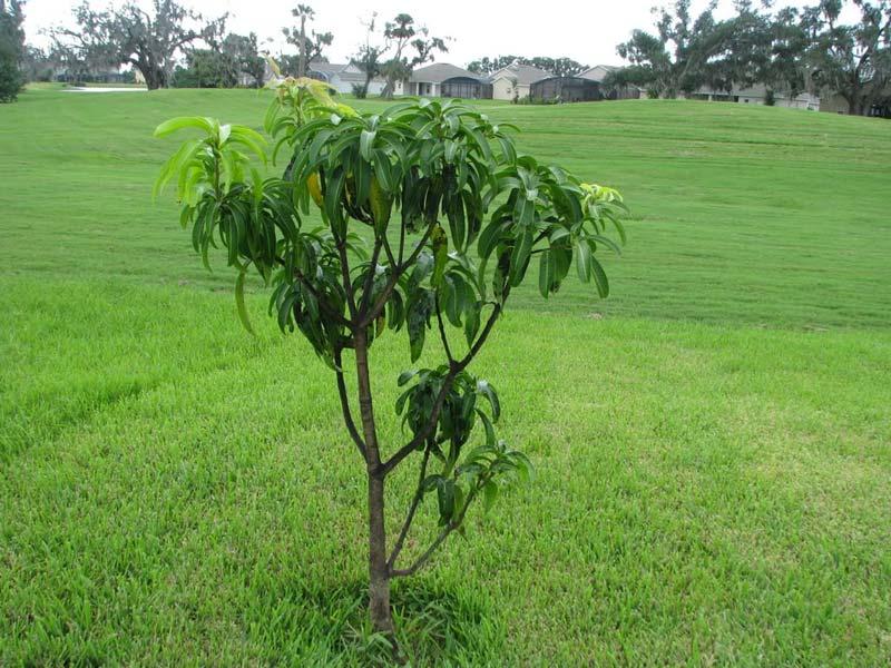 Mango Tree Not Producing Fruit Part - 47: Kesar Mango Tree Plants