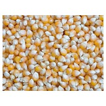 Yellow Maize (sp 5)