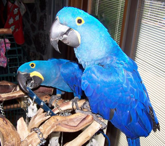 Hyacinth Macaw Parrots Exporters & Wholesale Suppliers from