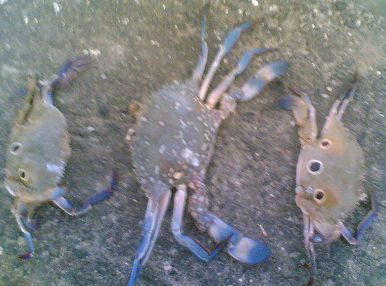 Buy Blue Crab from Sea Star Marine Service, Jamnagar, India