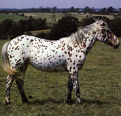 Foals Leopard Aloosa Colt By Salior Horses Ponies