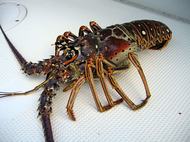 Buy Lobster from Harbour Bay Wholesale Seafood Limited