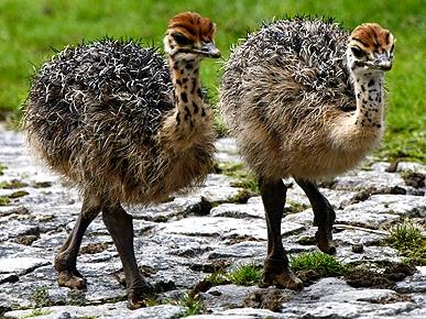 Ostrich, Emu Chicks
