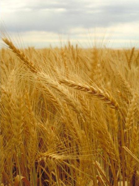 Wheat (NA)