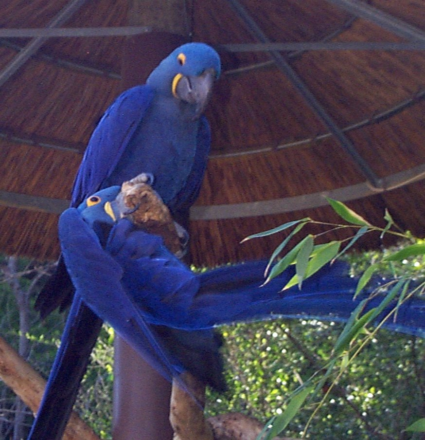 Macaw Parrots, Hatching Macaws Manufacturer & Exporters from Tbilisi