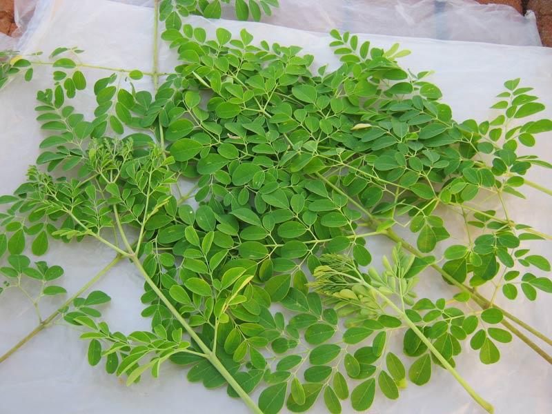 moringa-oleifera-leaves-690829.jpg