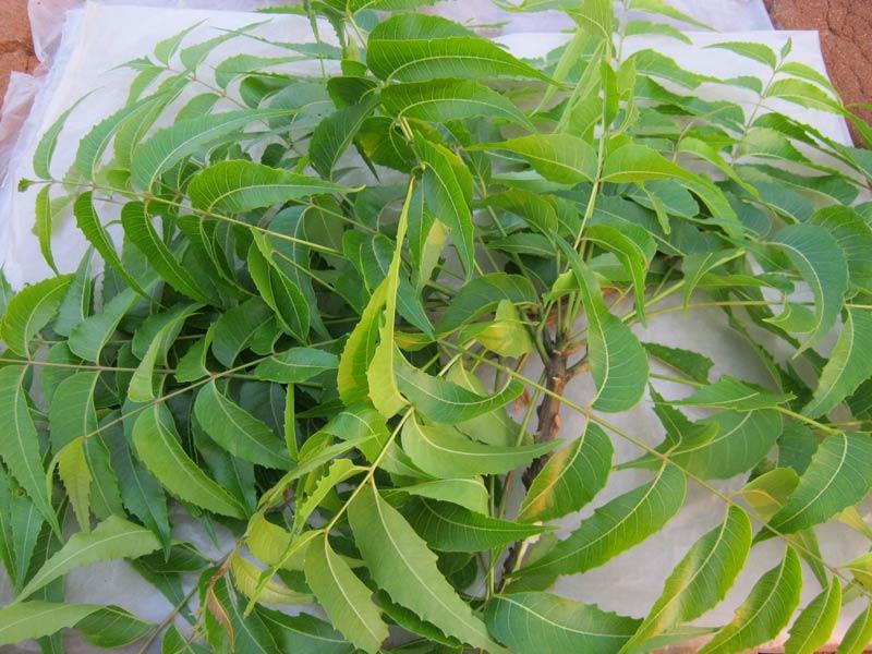 Neem Leaves (Azadirachta Indica) (SB-004)