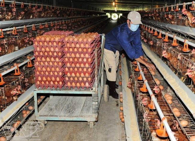 разведения курей яйца как бизнес