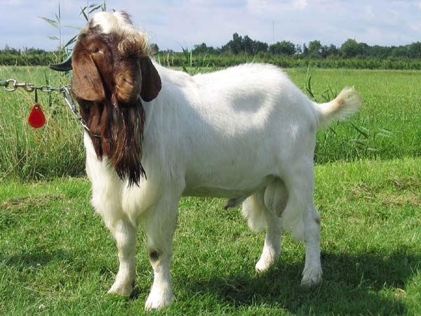 Buy Live Boer Goat from Sri Hari Goat Farm, India | ID - 666406