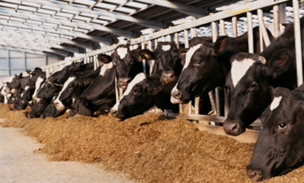 Maize Cattle Feed (06)
