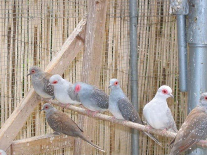 Buy Diamond Doves From Global Resouces Links Suratthani Thailand