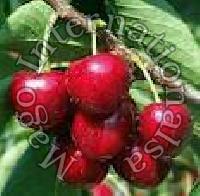 Fresh Cherry