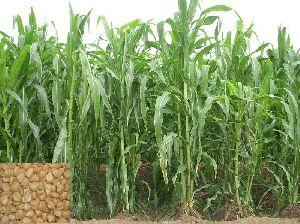 Fodder Grass Seeds