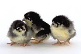 Sahyadri Poultry Chicks
