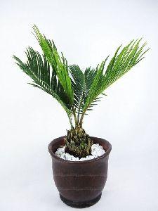 Bottle Palm Plants