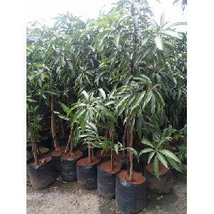 Mango Plants