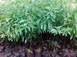 White Sandalwood Plants