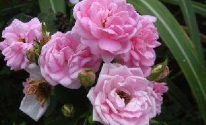 Paneer Rose
