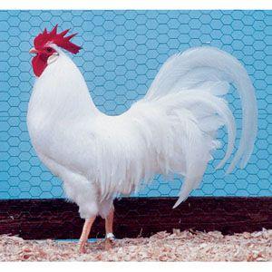 White Horn Cock
