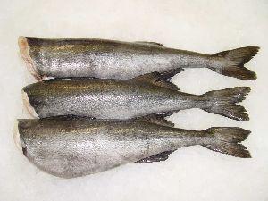 Frozen Black Cod or Sablefish HG