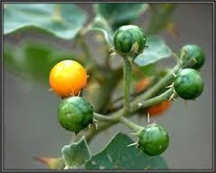 Solanum Xanthocarpum Plant Powder