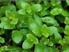 Mentha Spicata Herb