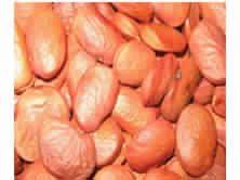 Pongamia Glabra Seed