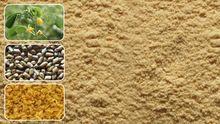 Cassia Tora Splits Cts And Cassia Tora Seed