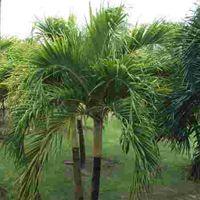 Adonidia Merrillii Plant