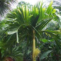 Areca Catechu Plant