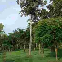 Caryota Maxima Plant