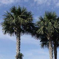 Corypha Utan Plant