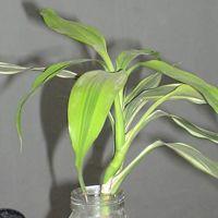 Dracaena Sanderiana Tea Plant
