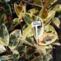 Ficus Teneke Plant